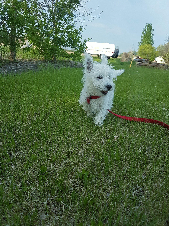 Westie puppy running